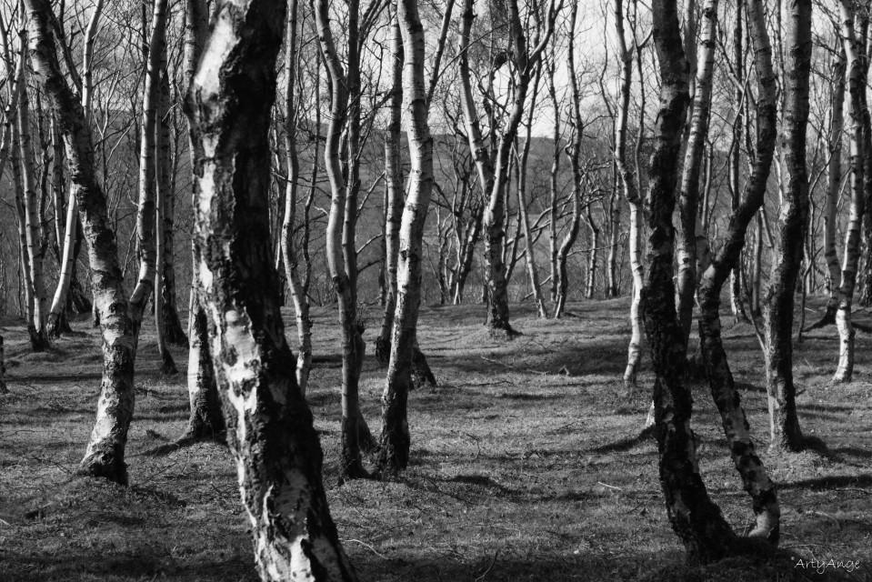 monochrome-birch-trees-1
